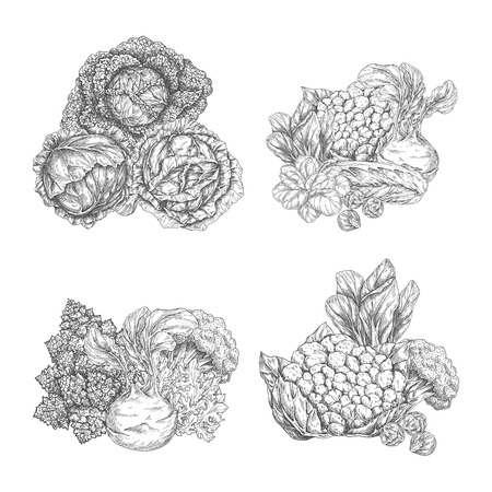 Cabbage vegetable and lettuce salad leaf sketch set. Chinese cabbage, iceberg lettuce, broccoli and spinach, bok choy, arugula, cauliflower and kohlrabi, brussel sprout and romanesco for food design