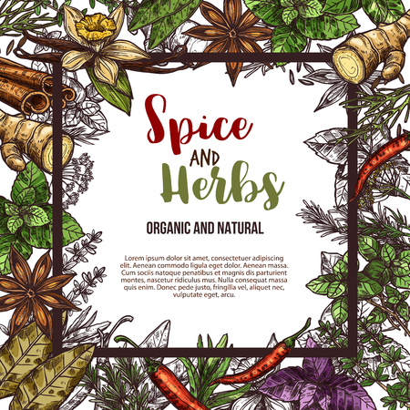 Herbs and spices sketch poster of natural chili pepper and oregano or green basil, dill or parsley seasoning and thyme or cumin flavoring, sage or bay leaf. Vector design for organic spice farm market