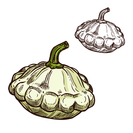 Pattypan 스쿼시 스케치 아이콘입니다. 벡터 신선한 야채 성장 채식 가리비 스쿼시 또는 patisony 야채 과일 채소 샐러드 또는 식료품 점 및 시장 디자인에  일러스트