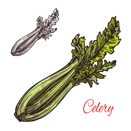 Celery vegetable plant sketch icon. Vector isolated symbol of fresh farm grown vegetarian celery leaf for veggie salad cooking ingredient or grocery store and market design