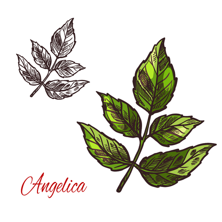 Angelica spice herb plant sketch icon. Vector isolated leaf of wild angelica for culinary cuisine cooking or flavoring herbal seasoning ingredient or grocery store and market design