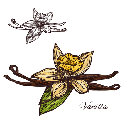 Vanilla flower spice herb vector sketch plant icon illustration.