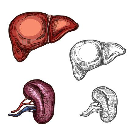 人間の臓器の肝臓と腎臓のスケッチアイコン。医療設計または手術および身体医学のシンボルのための腹腔の肝臓および腎臓の重要な器官のベクタ