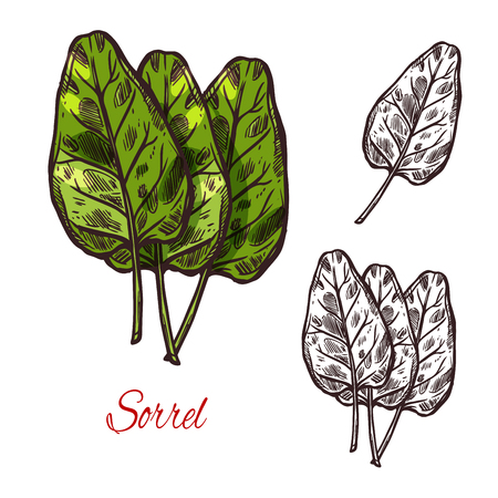 Sorrel vegetable spice herb plant sketch icon. Vector isolated leaf of wild sorrel lettuce for culinary cuisine cooking or flavoring herbal seasoning ingredient or grocery store and market design Ilustracja