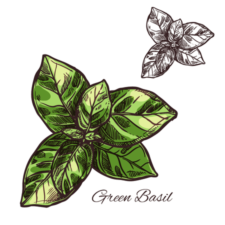 Green basil seasoning vector sketch plant icon Stok Fotoğraf - 93377935