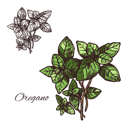Oregano seasoning spice herb sketch icon. Vector isolated leaf of oregano for culinary cuisine cooking or flavoring herbal seasoning ingredient or grocery store and market design