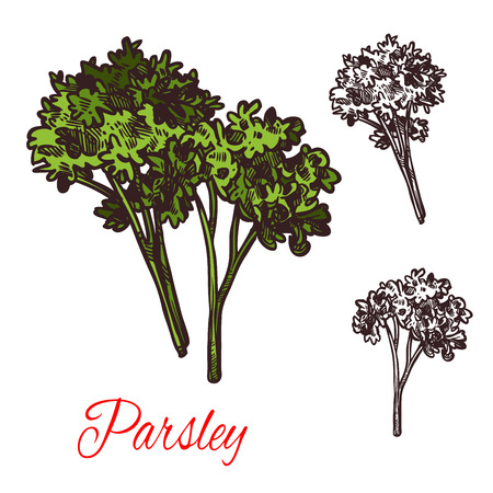 Parsley seasoning vector sketch plant icon Illustration