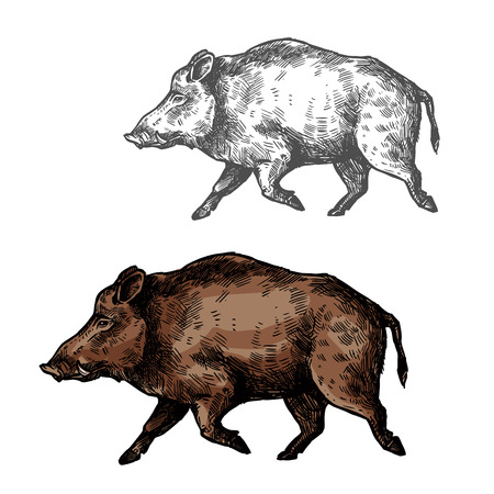 Boar aper vector sketch wild animal