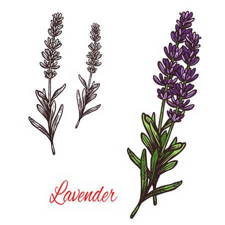 Lavender sketch plant icon Stok Fotoğraf - 94453729