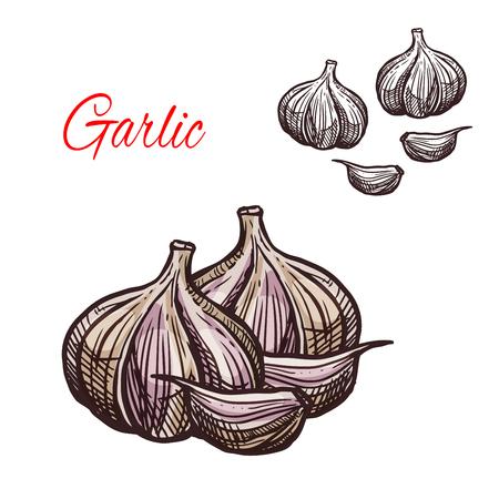 Garlic seasoning vector sketch plant icon illustration.