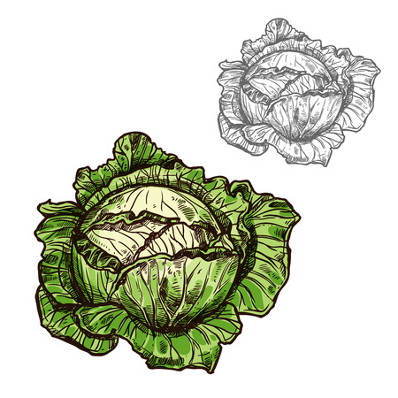 Cabbage vector sketch vegetable icon illustration. Illustration