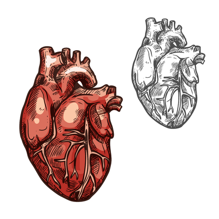 Human heart organ vector sketch icon