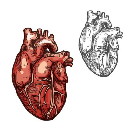 Human heart organ vector sketch icon