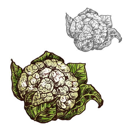 Cauliflower cabbage vector sketch vegetable icon