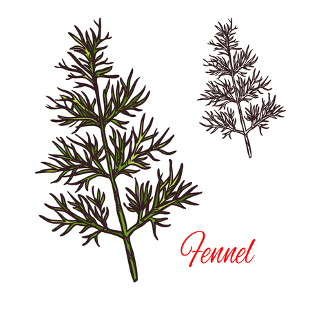 Fennel seasoning spice herb sketch icon. Vector isolated fennel herb plant for culinary cuisine cooking or flavoring herbal seasoning ingredient or grocery store and market design