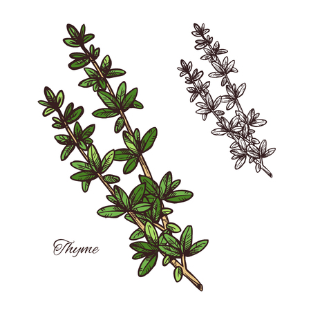 Thyme spice herb sketch of natural food ingredient and seasoning. Fresh branch with green leaf of thyme plant isolated icon for cooking recipe, herbal medicine and essential oil label design Vettoriali