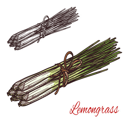 Lemongrass plant isolated sketch of fresh culinary herb. Lemon grass bunch with green leaf and stem for asian cuisine condiment and seasoning, drink flavoring and essential oil ingredient design