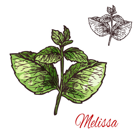 Melissa branch sketch of medical plant and aroma herb. Lemon balm twig with green leaf, natural ingredient for herbal medicine, drink flavoring, aromatherapy and essential oil label design Vettoriali