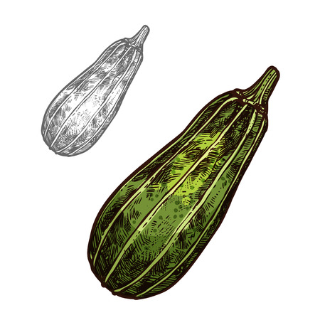 Zucchini vegetable isolated sketch of freshly harvested courgette. Green summer squash with yellow stripes for agriculture and vegetarian food themes, farm market and grocery label design