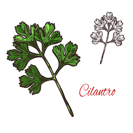 Coriander or cilantro plant sketch of spice herb illustration.
