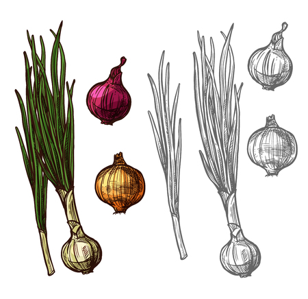 Onion or scallion vegetable with green leaf sketch Illustration