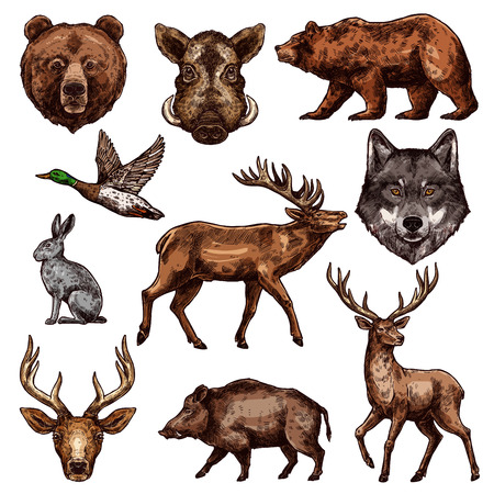 Animal and bird sketch of wild forest bear, deer and duck, wolf, reindeer and grizzly, elk, boar and hare. Carnivore and herbivore animal, water and predatory bird icon for hunting sport themes design.