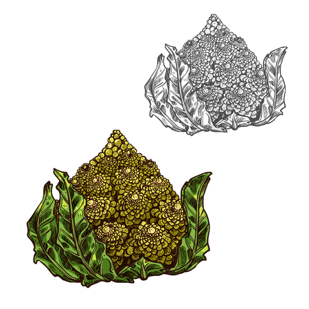 Romanesco cabbage vector sketch vegetable icon