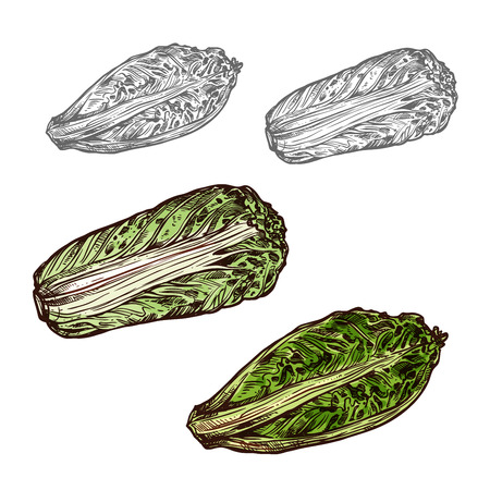 Chinese cabbage vector sketch vegetable icon