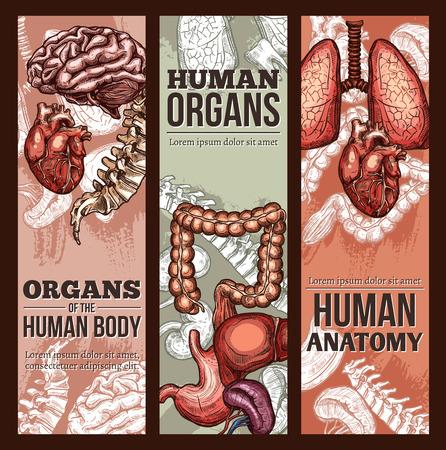 ヒト臓器ベクトルスケッチ解剖学ポスター  イラスト・ベクター素材