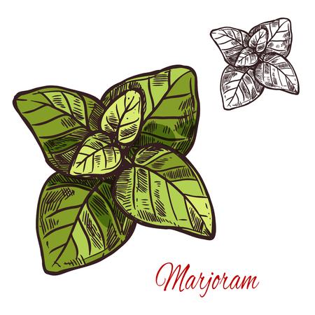 Marjoram seasoning plant vector sketch plant icon