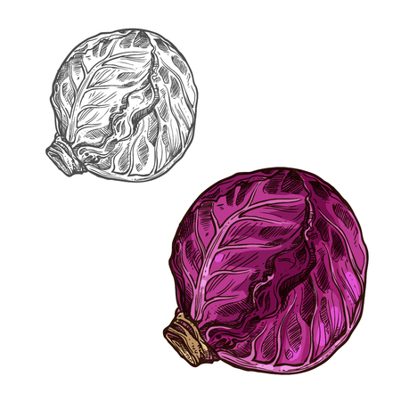 Red cabbage vector sketch vegetable icon
