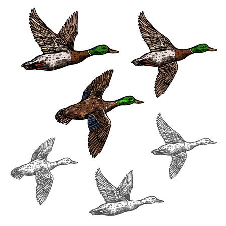 Mallard duck vector sketch wild bird icon Illustration