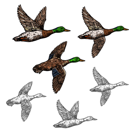 Mallard duck vector sketch wild bird icon Çizim