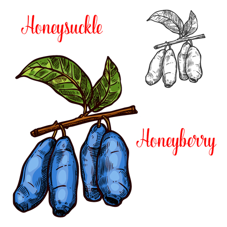 Honeysuckle vector sketch berry icon illustration.