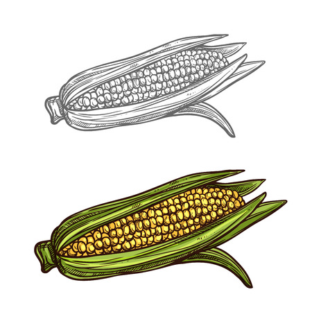 Corn cob vector sketch vegetable icon illustration.