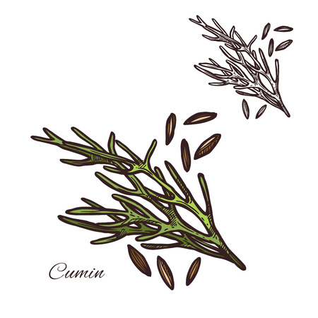 Cumin seasoning plant seeds vector sketch icon illustration. Illustration