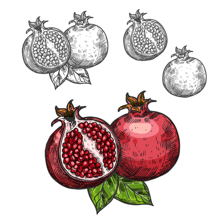 Pomegranate vector sketch fruit cut section icon illustration.  イラスト・ベクター素材
