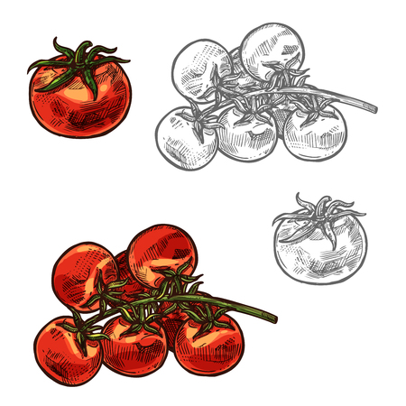 Cherry tomatoes vector sketch vegetable icon illustration.