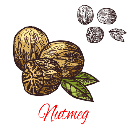 Nutmeg seasoning nut spice vector sketch icon illustration.