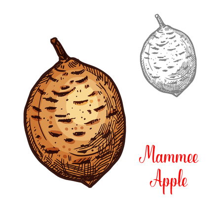 Exotic fruit Mammee apple illustration on white background.