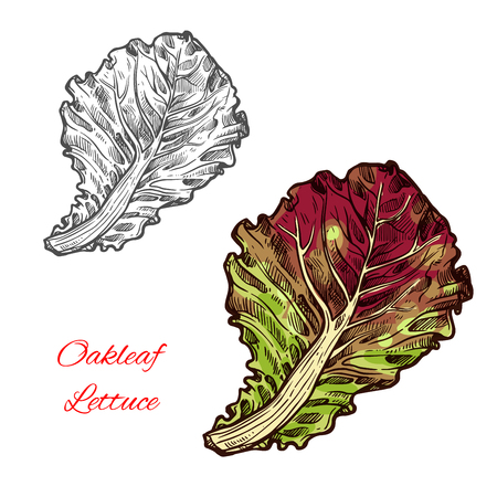 Oak leaf lettuce vector illustration on white background.