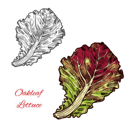 Oak leaf lettuce vector illustration on white background.