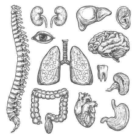 Insieme di schizzo di vettore di organi umani