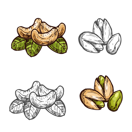 Cashew pistachio nuts vector fruits sketch icons