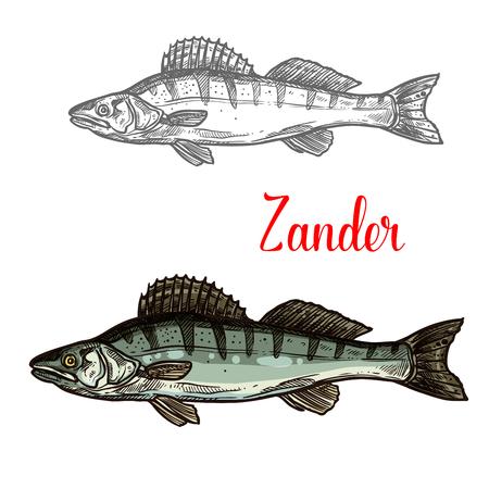 Zander fish vector fishing icon Illustration