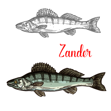 Zander fish vector fishing icon 向量圖像