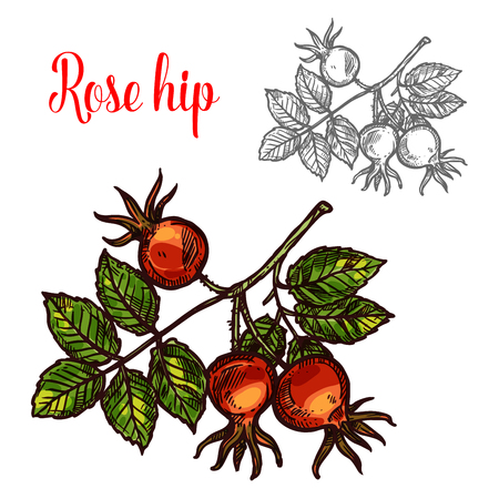 Rose hip vector sketch berry icon