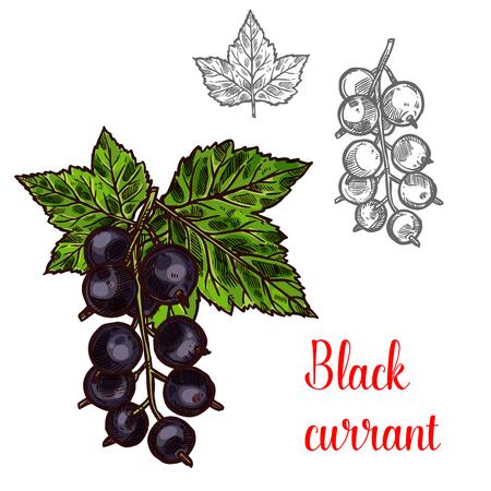 Black currant vector sketch set Ilustracja