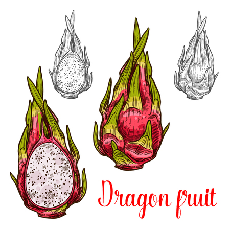 Dragon fruit vector sketch exotic fruits icon