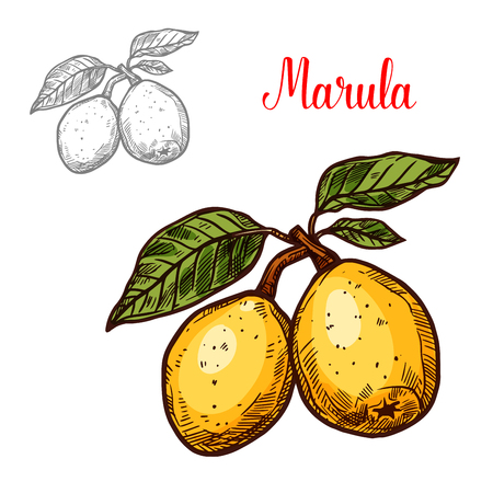 vector of exotic fruit marula
